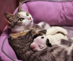 Mama cat nursing a one-week-old pit bull after he was left orphaned at an animal shelter - Imgur