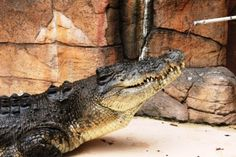 What to do in Darwin, Australia | Croc feed at Crocosaurus Cove is a must