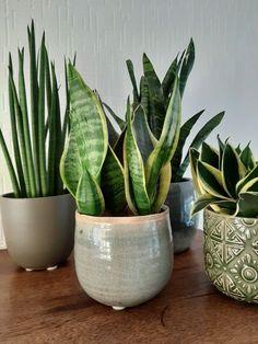 Best Indoor Plants, Cool Plants, Green Plants, Ornamental Plants, Foliage Plants, Potted Plants, Sansevieria Plant, Succulent Gardening, Garden Landscape Design