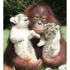 Orangutan Hanama cuddles these two baby lion cubs as he plays dad to the  young pair. The three-year-old giant ape forged the unlikely relationship  with male cubs Skukuza and Simh at Myrtle Beach Safari in South Carolina.