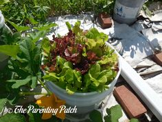 How to Grow Leaf Lettuce in a Home Garden: An Illustrated Guide | Parenting Patch