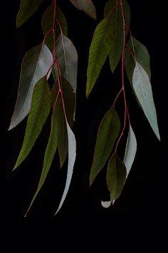 eucalyptus | STILL (mary jo hoffman)