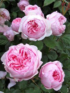 Geoff Hamilton Shrub English Rose Collection Bred by David C H Austin United Kingdom 1997 Beautiful Roses, Beautiful Gardens, Parfum Rose, David Austin Roses, David Rose, Growing Roses, Garden Shrubs, Climbing Roses, Purple Roses