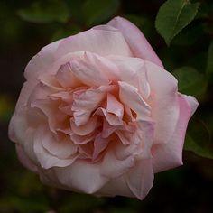 Beautiful. Rose G. Nabonnand.