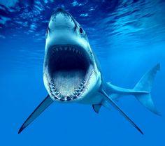 www.pegasebuzz.com | Requin, shark, tiburon.