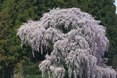 Kassenba sakura by Sky-Genta, via Flickr  April 2006
