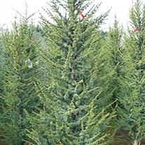 Cedrus atlantica 'Glauca Fastigiata'  Columnar Blue Atlas Cedar Zone: 6a, 6b, 7a, 7b, 8a, 8b Exposure: Sun Plant Category: Conifers Height: Maximum 40 feet  Width: Maximum 30 feet Report a problem A handsome evergreen with blue, bluish-green and light green foliage. A more columnar form of Blue Atlas Cedar with upward facing branches.