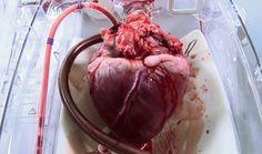 mesmerising. beating heart ready for transplant. GIF
