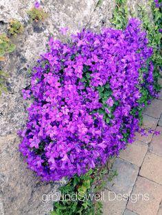 Campanula in Adare Coast, Bloom, Plants, Plant, Planets