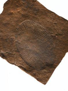 Fossil Ediacaran biota, Dickinsonia sp., from the Ediacaran Period (Precambrian) of Australia