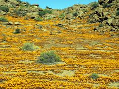 Namaqualand flowers just outside Nababeep. 22 Km north of Springbok, Nababeep's name combines two Nama words, naba, meaning 'hump of an animal' and bib, meaning 'small spring'. Daisy Field, Spring Flowering Bulbs, Out Of Africa, Beautiful Places To Travel, Gone Fishing, Continents, North West, West Coast, South Africa