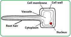 Image result for root hair cells labelled diagram and facts image result for root hair cells labelled diagram and facts publicscrutiny Choice Image