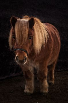 Shetland Pony | Double squee, but it seems somehow unfair to breed an animal down to that size.