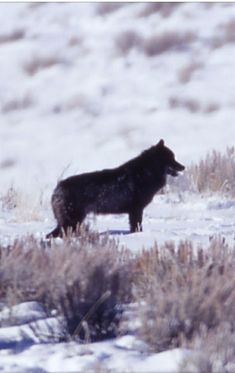 Black wolf Wooing the Druid Peak Pack females Yellowstone Wolves, Panther, Wolf, Black, Animales, Black People, Panthers, Wolves, Timber Wolf