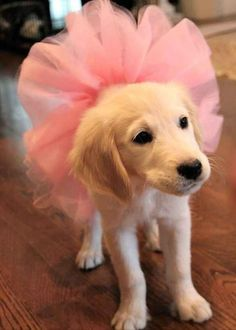 I am ready for ballet class.   61 Times Golden Retrievers Were So Adorable You Wanted To Cry