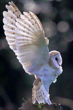 snowy owl wings