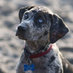 Also known as the Louisiana Catahoula Cur, Leopard Dog, or Catahoula Leopard Hound, this unusual American bred dog is the state dog of Louisiana. Its name comes from Catahoula Parish, in Louisiana. These dogs can range in weight from forty to ninety pounds, and can be as little as twenty inches tall and as high […]