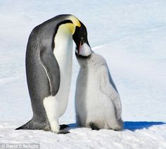 Image result for printable pictures of national geographic photos of penguins