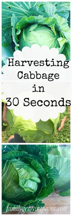 How to Harvest a Cabbage Head in 30 Seconds » Family Growing Pains