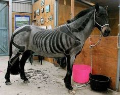 STRANGE HORSES - WHO TRIMMED ITS HAIR LIKE A SKELETON? Clipped Horses Learn about #HorseHealth #HorseColicwww.loveyour.horse
