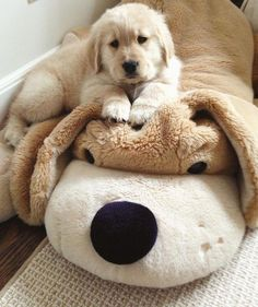"""Excellent """"golden retriever dogs"""" info is offered on our internet site. Read more and you wont be sorry you did. Puppy Obedience Training, Training Your Puppy, Dog Training Tips, Dogs Golden Retriever, Retriever Puppy, Golden Retrievers, Cute Puppies, Cute Dogs, Dogs And Puppies"""
