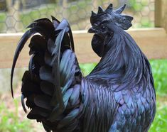 This doesn't seem real...  This Chicken is completely black -- down to the bones.   Seems really odd... apparently they are rare -- coming from Indonesia.  I'll post more info if I find more.
