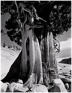 """Edward Weston, Juniper, Lake Tenaya this example printed c. by Cole Weston. Gelatin silver print, Signed in graphite by Cole Weston mount verso; mount bears the inscription """"Juniper at Lake Tenaya, and verso Edward Weston, Ansel Adams, Modern Photography, Black And White Photography, Landscape Photography, Minimalist Photography, Color Photography, Straight Photography, Levitation Photography"""