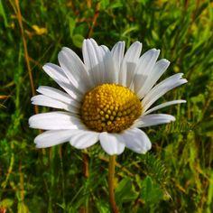 Beautiful solitary daisy .. #flower #nature #southeast #agriculture #bikeride #contrast #summer #daisy #southdowns #nationaltrust #landscape #landmark #wildlife #england #sussex #beautyspot #countryside #fields #solitary