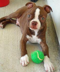 Dexter-Boston Terrier is a very good looking little boy...  let's play catch, Dexter <3