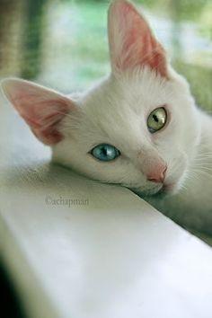 Oosterse kat
