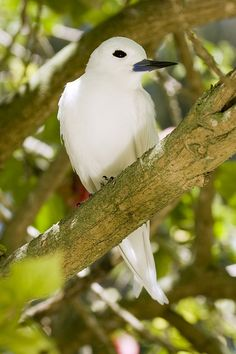 The White Tern (Gygis alba) is a small seabird found across the tropical oceans of the world.