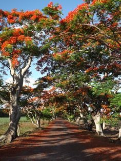 Flame tree in the north of Mauritius island