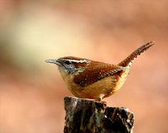 Carolina-Wren-(Thryothorus ludovicianus)