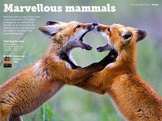 Fox Kits by Merle Ann Loman