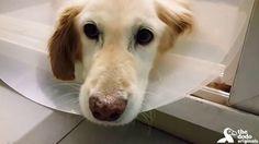 Golden whom lost her legs walks again https://www.youtube.com/watch?v=n-7JAtMqQso&t=8s