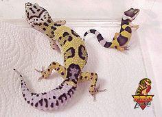 Leopard Gecko w/ baby..I love myself a gecko   how much price one baby