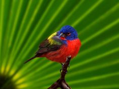 ✰ Painted Bunting ✰ The male Painted Bunting is often described as the most beautiful bird in North America. The males used to be very popular for keeping as pets, but this is now illegal as their numbers are dwindling.