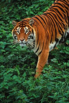 The 3 extinct subspecies of tiger were all wiped out in the 20th century.
