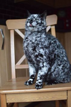 Have you ever seen a cat like this?