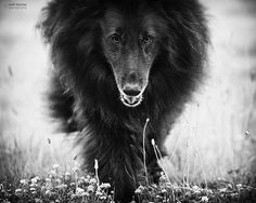In dreams (14/52/2012) Wolfcub the Belgian Sheepdog by Kirsten Bowers