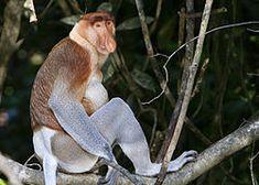 Proboscis monkey - Wikipedia, the free encyclopedia