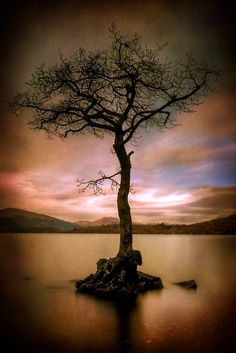 """Milarrochy Tree "" , Milarrochy Bay, Loch Lomond, Scotland,"