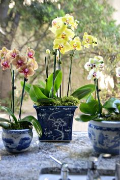 DL Rhein-beautiful orchids sitting in vintage chinoiserie pots:
