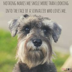 Ranked as one of the most popular dog breeds in the world, the Miniature Schnauzer is a cute little square faced furry coat. It is among the top twenty favorite Schnauzer Mix, Schnauzers, Raza Schnauzer, Black Schnauzer, Standard Schnauzer, Giant Schnauzer, Cute Puppies, Cute Dogs, Dogs And Puppies