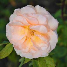 Kroniki Inowrocławskie: Zapachem róż jesień się zaczyna......