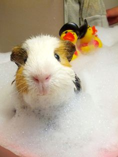 Life in guinea pig land. (Photo by Colin Mclaughlin/Caters News)