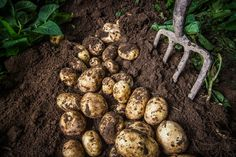 Harvesting the Comber Potato fresh from the ground. Northern Ireland Tourism, Visit Northern Ireland, Irish Famine, Stuff To Do, Things To Do, International Teams, Love Food, Harvest, Roots