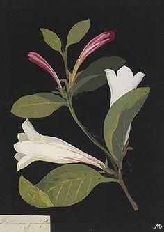 Mary Delany (British,1700-1788)