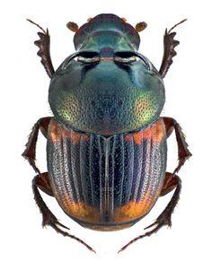 Onthophagus (Gibbonthophagus) serves (Scarabaeidae: Dung Beetles)