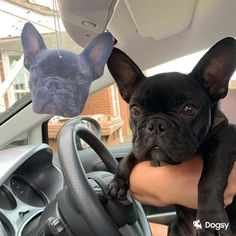 Removing that 'Doggy' smell with an air freshener of your dog!  ☺️ Air Freshener, Your Dog, French Bulldog, Fans, Animals, Animais, Animales, Animaux, Bulldog Frances